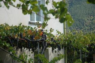 Виноград / Болгария