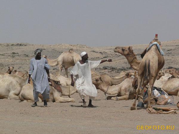 Верблюдов гонят из Дарфура в Египет / Фото из Судана