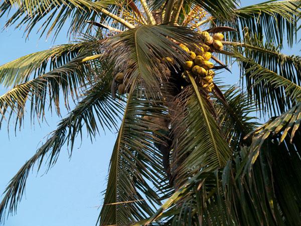 Сбор кокосов, Варкала / Фото из Индии