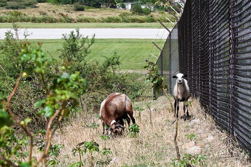 Козы у аэропорта на Монтсеррате / Фото из Монтесеррата