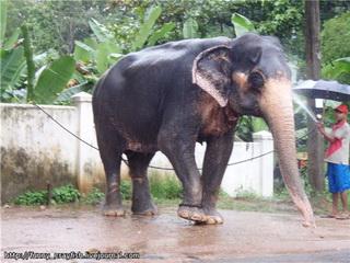 Слон / Шри-Ланка