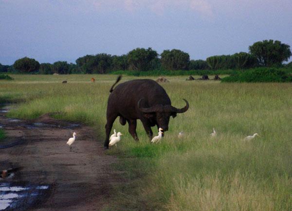 Буйвол в национальном парке Королевы Елизаветы, Уганда / Фото из Конго (бывш. Заир)
