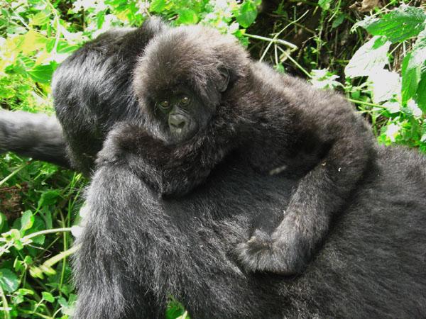 Семейство горилл в заповеднике, Конго / Фото из Конго (бывш. Заир)