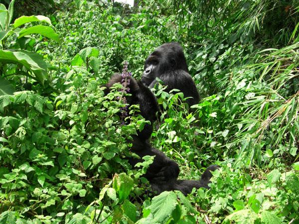 Горилла в зарослях заповедника, Конго / Фото из Конго (бывш. Заир)