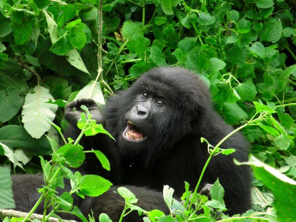 Горилла в Конго / Фото из Конго (бывш. Заир)