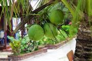 Кокосовая пальма / Малайзия
