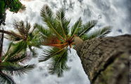 Пальмы зачищены от кокосов / Фиджи