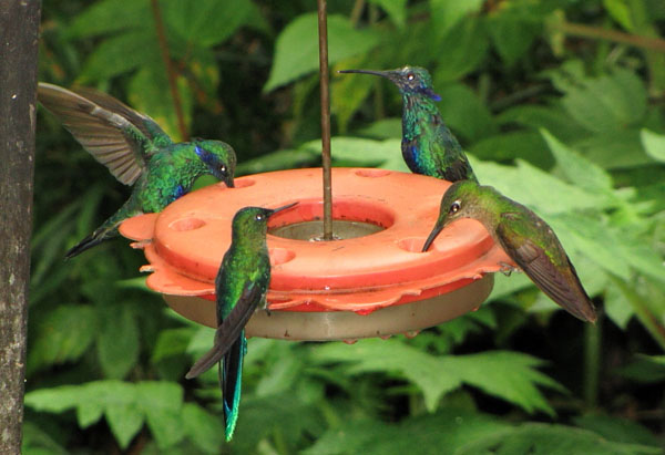 Колибри у поилки / Фото из Эквадора