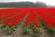 Время цветочного сумасшествия / Нидерланды