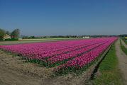 Знаменитые тюльпанные поля / Нидерланды