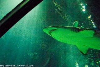 Акула / США