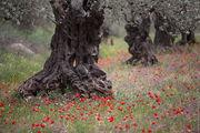 Оливковые плантации Верхней Галилеи / Израиль