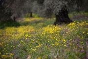 Одна из самых красивых оливковых плантаций / Израиль