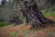 Исполинская маслина / Израиль