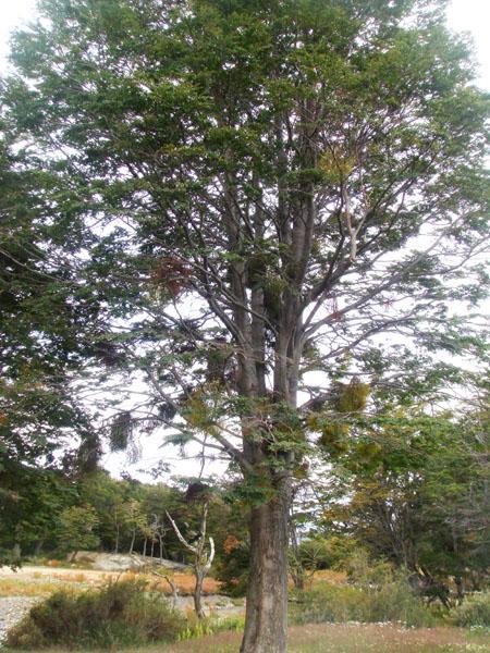 """""""Бородатое"""" дерево на Огненной Земле в Аргентине / Фото из Аргентины"""