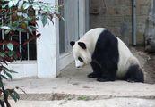 Большая панда / Китай