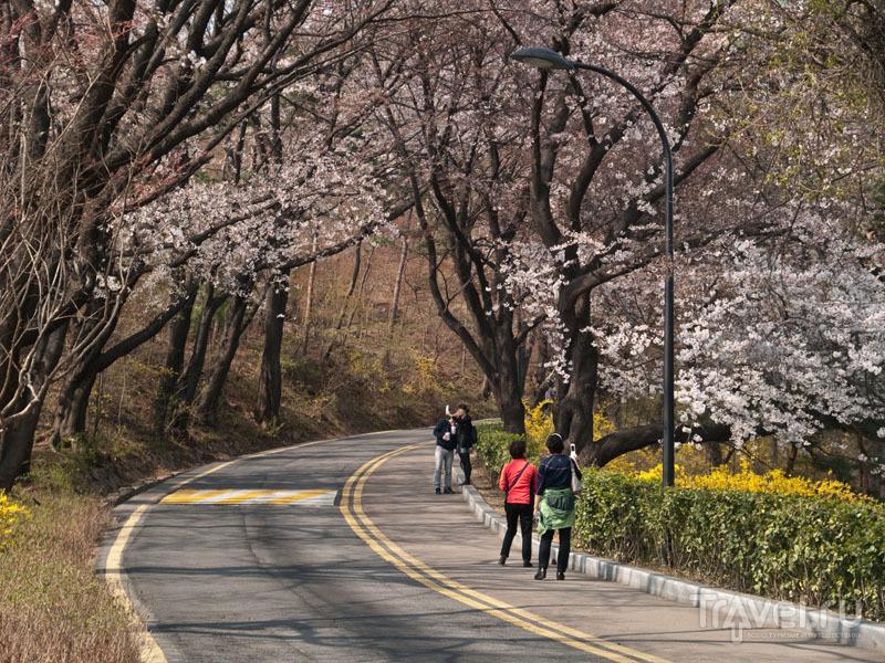 Сакура - объект любования и фотографирования / Фото из Южной Кореи