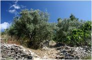 оливковые рощи / Хорватия