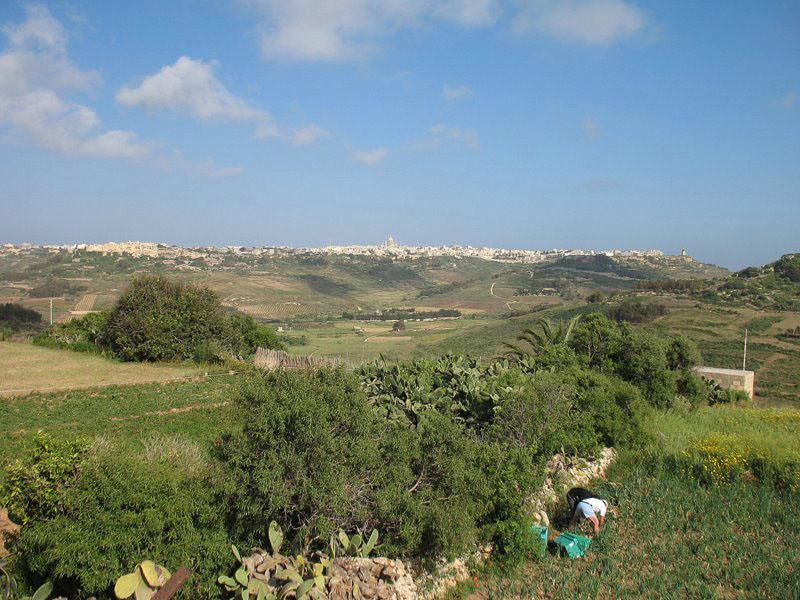 Крестьяне на Мальте собирают урожай лука-порея / Фото с Мальты