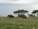 слоны / Танзания