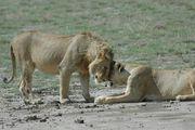 львы / Танзания