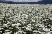 цветущее поле / Болгария