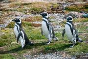 Магеллановы  пингвины / Чили