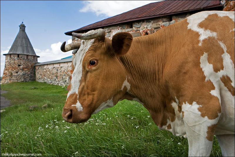 Корова на Соловках / Фото из России