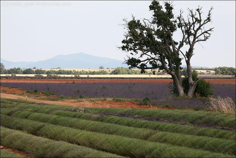 Лавандовые поля в Провансе / Фото из Франции