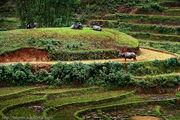 буйволы / Вьетнам