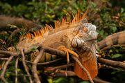 игуана / Коста-Рика