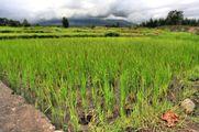 Рисовые посадки / Филиппины