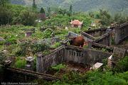 коровы / Вьетнам