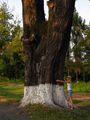Старые деревья / Азербайджан