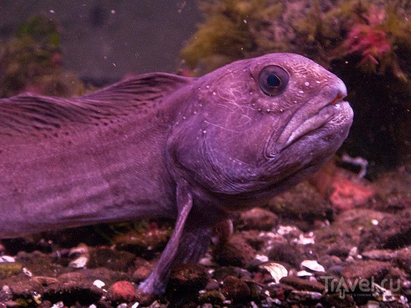Обитатель аквариума Foroya Sjosavn / Фото с Фарерских островов