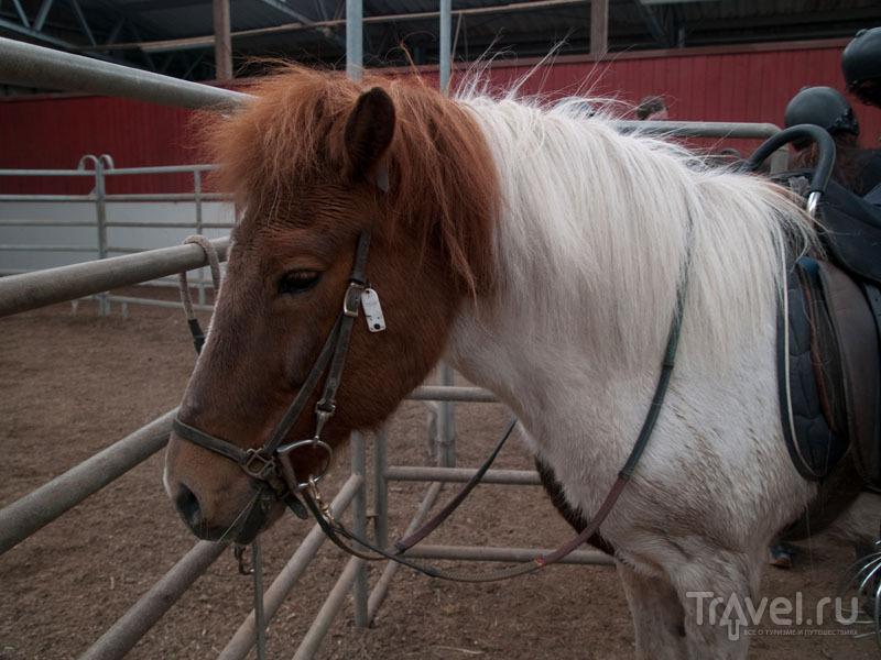 """Моя """"первая"""" лошадь - мне грустно прощаться / Фото с Фарерских островов"""