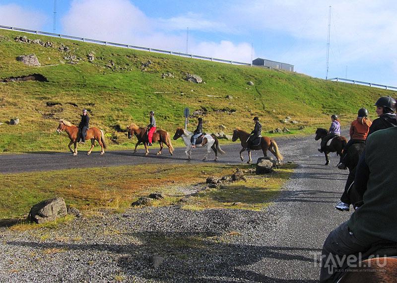 Исландские лошади спокойно идут друг за другом / Фото с Фарерских островов