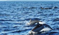 Приплывают дельфины / Филиппины