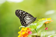 Бабочки прятались / Филиппины