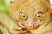 Самые крупные глаза / Филиппины