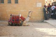 Туристический верблюд / Египет
