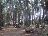 Танцующий лес / Россия
