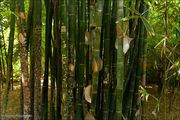 Обитает бамбук / Марокко