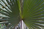 Пальмовая ветвь / Марокко