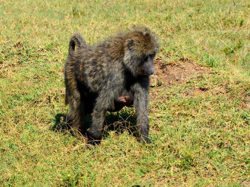 Обитатель национального парка Масаи-Мара в Кении / Фото из Кении