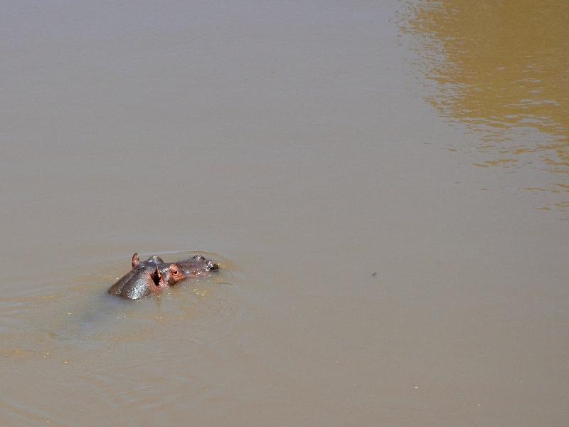 Бегемот в реке Мара, Кения / Фото из Кении