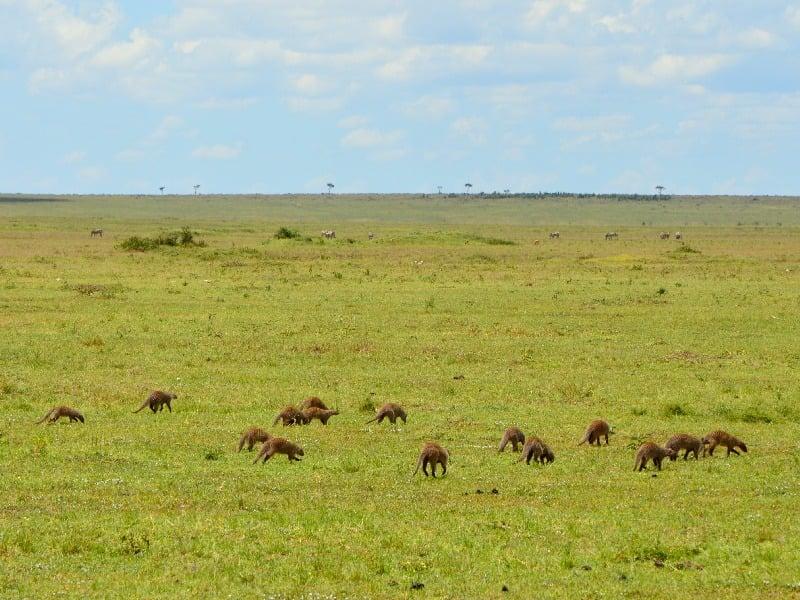 Зеленые просторы национального парка Масаи-Мара, Кения / Фото из Кении