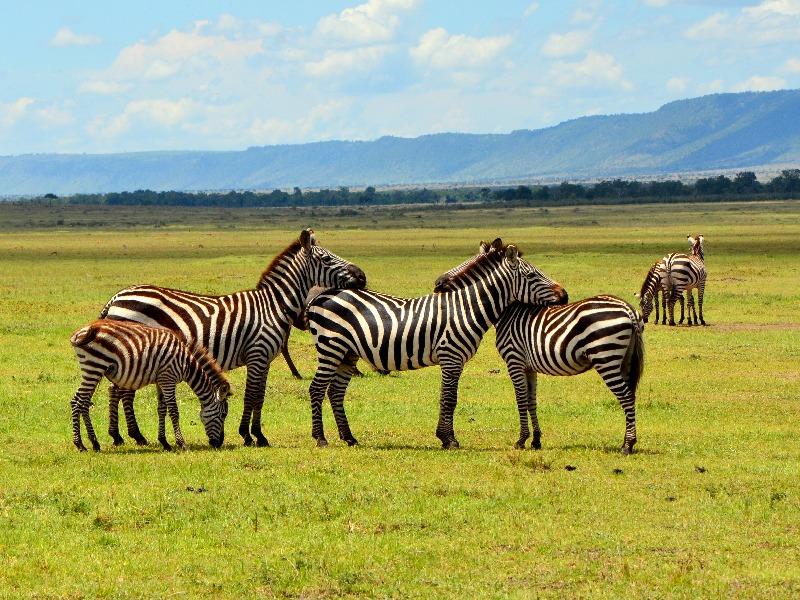 Зебры в национальном парке Масаи-Мара, Кения / Фото из Кении