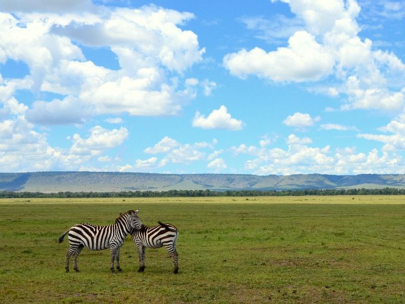 Пара зебр в национальном парке Масаи-Мара, Кения / Фото из Кении
