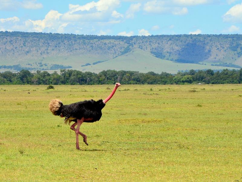 Страус в национальном парке Масаи-Мара, Кения / Фото из Кении